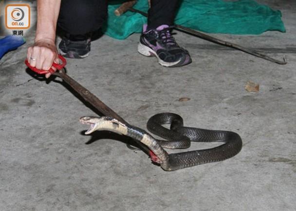 飯鏟頭毒蛇竄會展對開 勇猛跑友擸鐵欄擊殺|即時新聞|港澳|on.cc東網