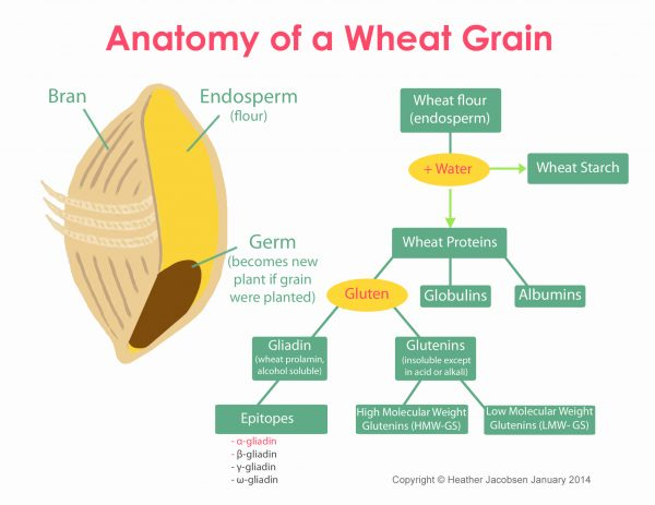 What is Gluten? Wait! Are you sure you know the answer?