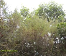 baeckea frutescens