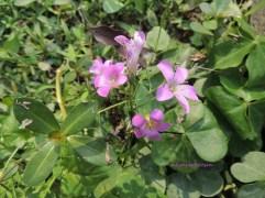 Lavender Sorrel