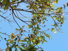 ch guger-tree fruit