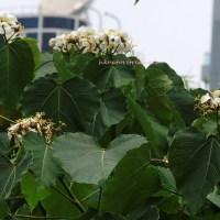 香港木油桐花樹 wood-oil tree - tung blossoms - in hong kong