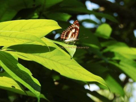 a nymphalidae jul15