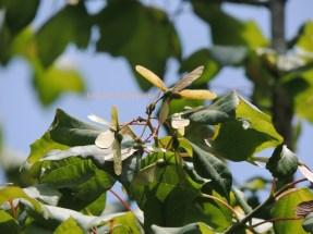 嶺南槭 tutcher's maple jul15