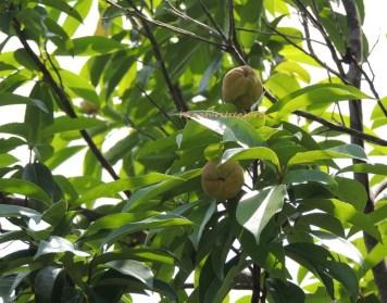 石筆木 common tutcheria jul15
