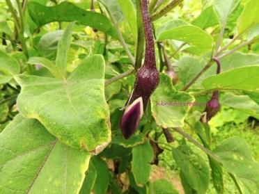茄子 eggplant jul15