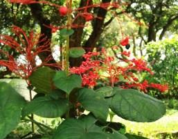 赬桐 pagoda flower jul15
