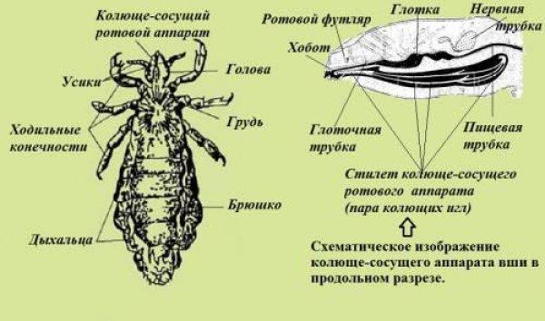 ujjrepedés és paraziták lehet e asztma parazitáktól