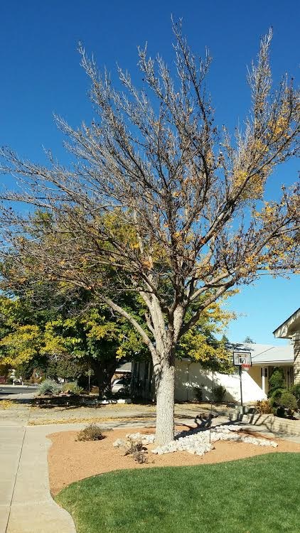 residential-commercial-landscaping-services-in-albuquerque-rio-rancho-pruning-tree-trees