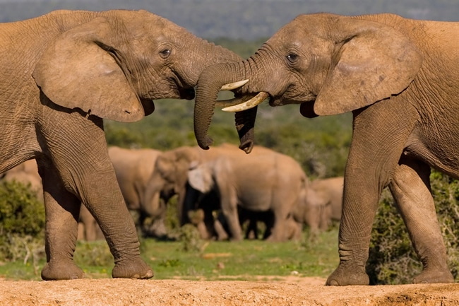 african elephant food chain diagram orbital interaction for molecular formation big 5 lion leopard rhino and buffalo facts