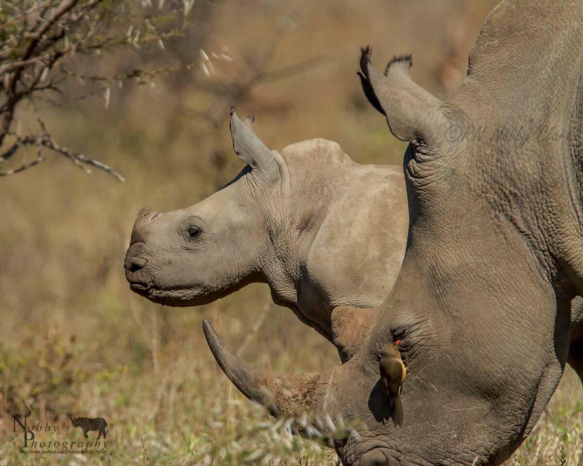 African Big 5 Lion Leopard Elephant Rhino And Buffalo Facts