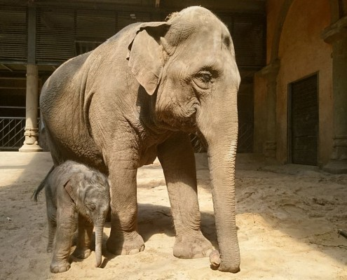 Elefantenkalb geboren – Jetzt sind es zehn Dickhäuter