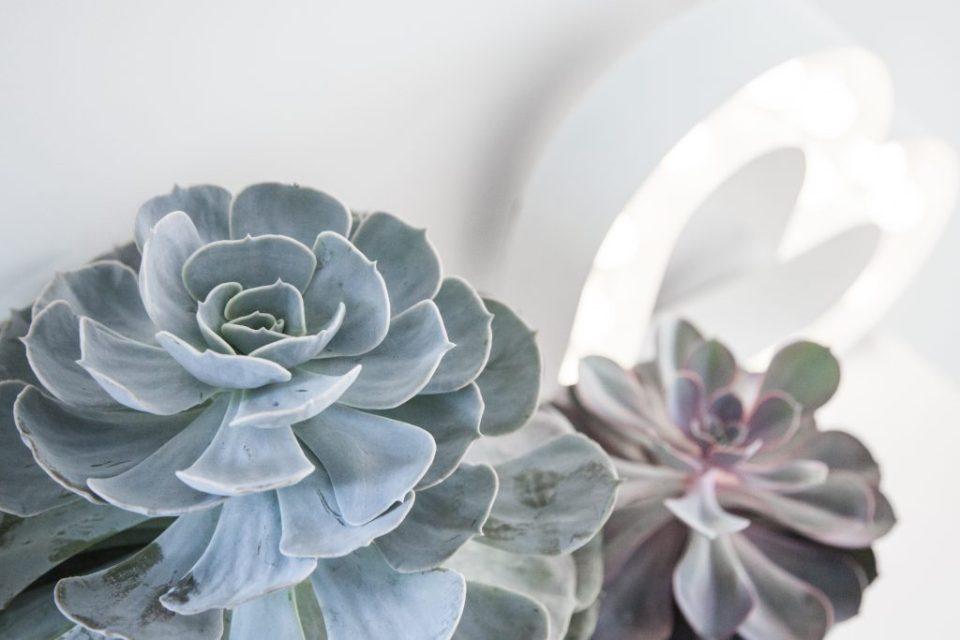 """Vetplanten – witte potten - Echeveria Blue Rose Imbricata Succulent - Echeviera succulent - Echeveria hybrid """"Perle Von Nurnberg"""" Succulent – wit lichtgevend hart"""