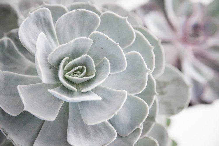 Vetplant - Succulent – Echeveria Blue Rose Imbricata Succulent