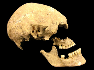 This skull of a 7,000-year-old German farmer was among the ancient human bones that revealed more about the genetic heritage of present-day Europeans. Image: Joanna Drath/University of Tübingen