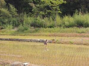 糸島田植えの風景
