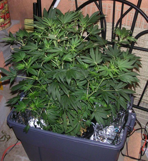 Lowryder Hydroponic Grow Box