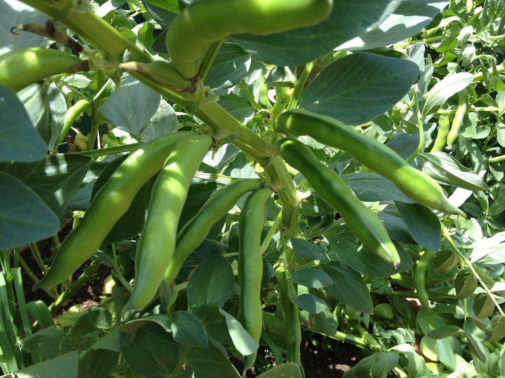 Master Gardeners Of Tompkins County NY Growing Fava