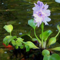 Inexpensive Kitchen Cabinet Makeovers Corner Hutch Top 10 Floating Pond Plants-an Excellent Addition To Any ...