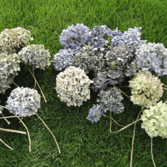 7 Easy Steps To Drying Hydrangeas Home And Garden Smatterings