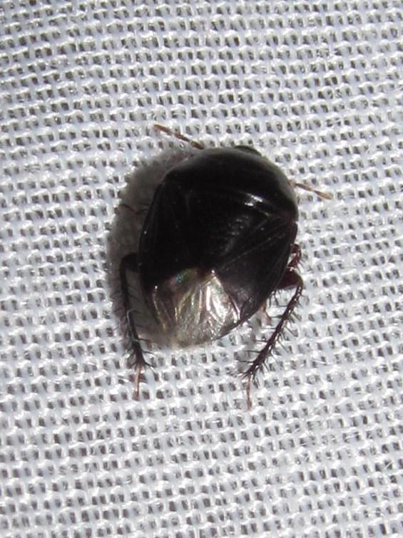 Silver Butt Beetle to the Uncommon Graceful GrassVeneer