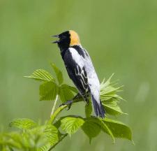 Male Bobolink