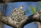 female Blue-gray Gnatcatcher © Anne McDermaid