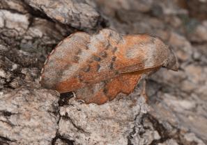 Lappet moth (Phyllodesma americana) © Fiona Reid