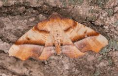 Straight-lined palgodis (Plagodis phlogosaria) © Fiona Reid