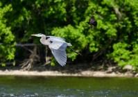 Great Blue Heron © Anne McDermaid