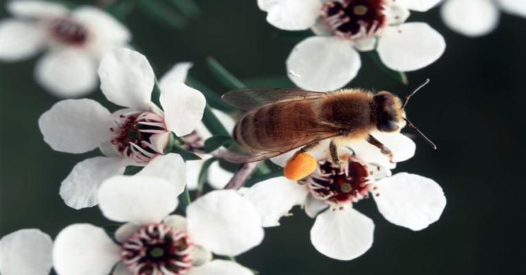 Manuka, tác dụng của mật ong chữa viêm họng này là gì