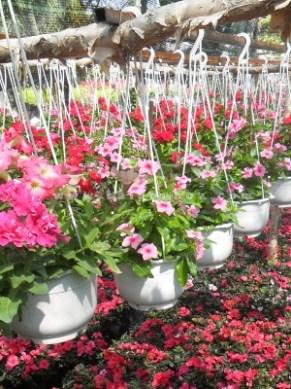 vườn hoa dừa cạn treo