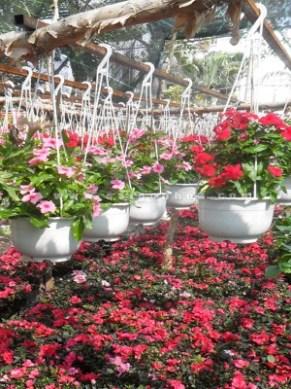 hoa treo dừa cạn các màu