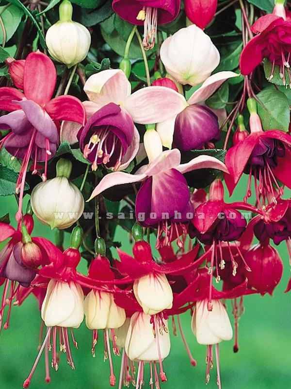 Hoa Lồng Đèn Chậu Treo