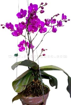 hoa lan hồ điệp treo