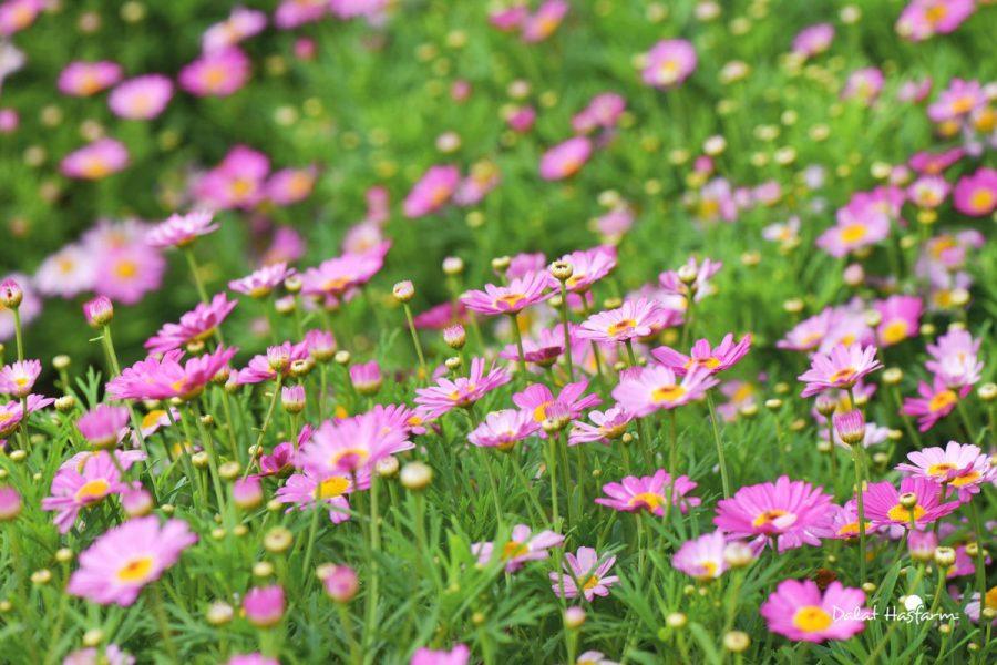 ý nghĩa tinh khôi của loài hoa cúc dại