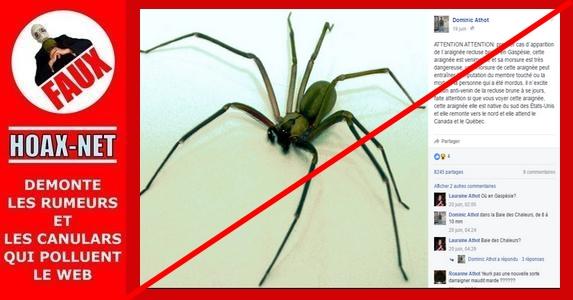 Araignée recluse brune en Gaspésie : inutile de paniquer !