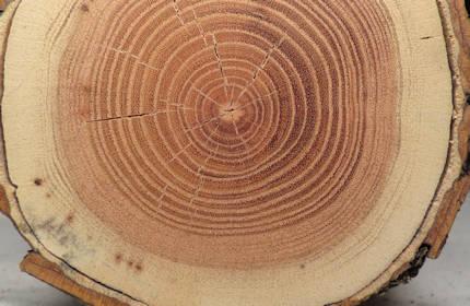 Honey Locust Wood Carving
