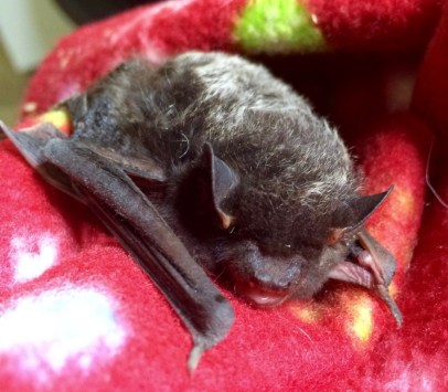 Silver Haired Bat (migratory)
