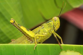 Grasshopper on a banana leaf