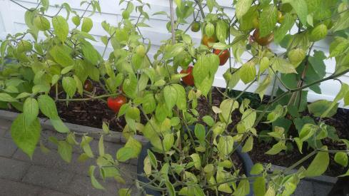 Baumchili, Capsicum Pubenscens, im Garten anbauen