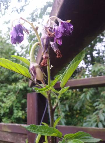 Pepino Birnenmeline im Garten, in der Hängeampel