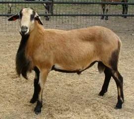 barbados-blackbelly-sheep