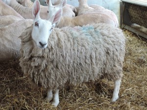 border-leicester-sheep