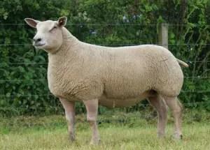 charollais-sheep