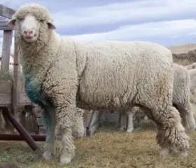 columbia-sheep