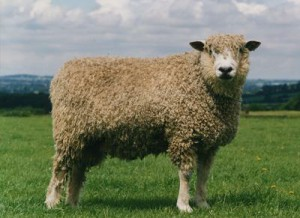 cotswold-sheep