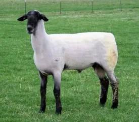 hampshire-sheep