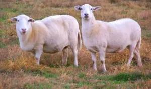 katahdin-sheep