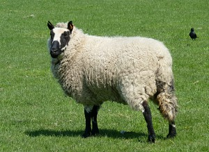 kerry-hill-sheep